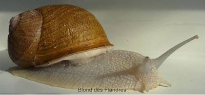 escargot Blond des Flandres 2010