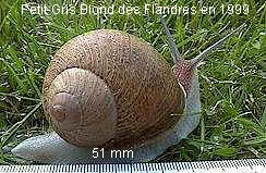 escargot blond des flandres 1999