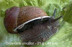 escargot gros-gris unicolor